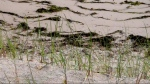Recently planted sea grass plugs are included in Melnick's plan to restore the dunes on his property. (Photo Tracey C. O'Neill 2014)
